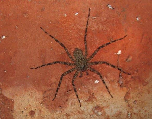 spiderling still growing